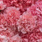GAMA Pink